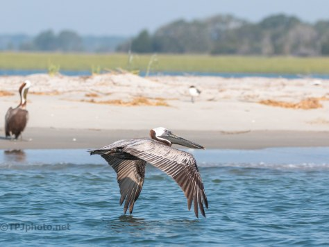 Just Off Shore, Brown Pelican