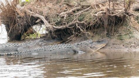 Baking In The Sun, Alligator