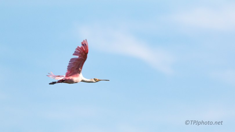 Flash Of Pink, Spoonbill