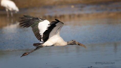 Wood Stork Passing Through