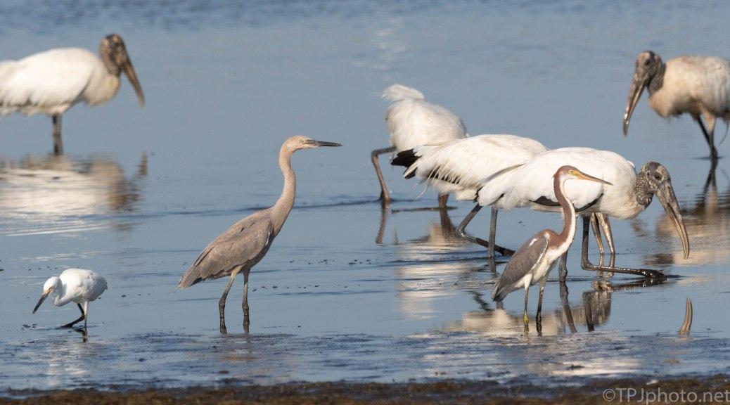 New In Town, Reddish Egret