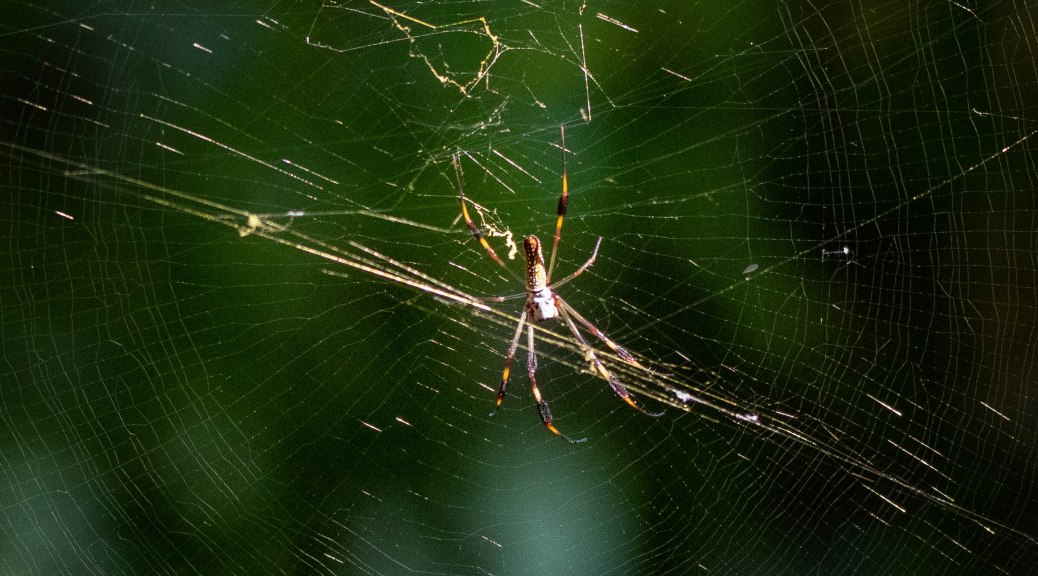 On A Trail, Orb Weaver
