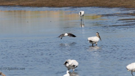 Laughing Gull In The Mix