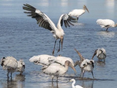 His Spot Is In The Middle, Wood Stork