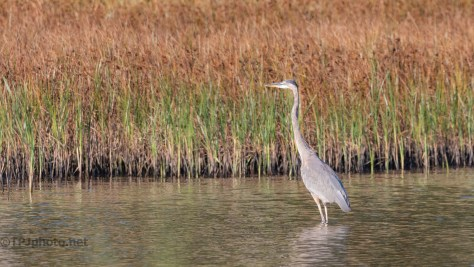 Great Blue With The Reeds