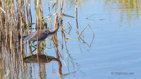 Young Tricolored Heron Working The Marsh