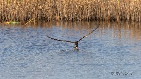 Black Skimmer Shot Between The Reeds