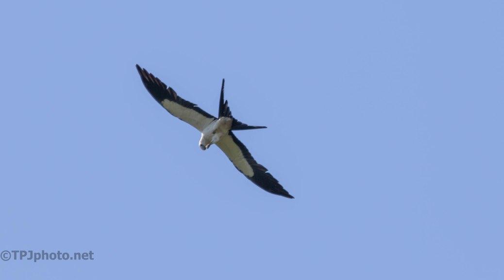 Swallow-tailed Kites Feeding