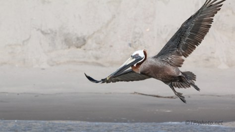 Brown Pelican, Sand Bar