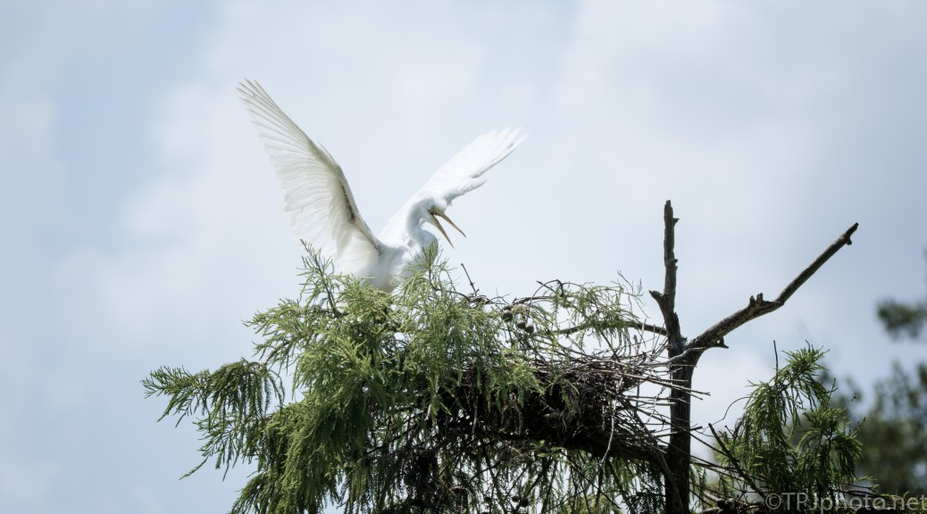 Great Egret At An Old Nest