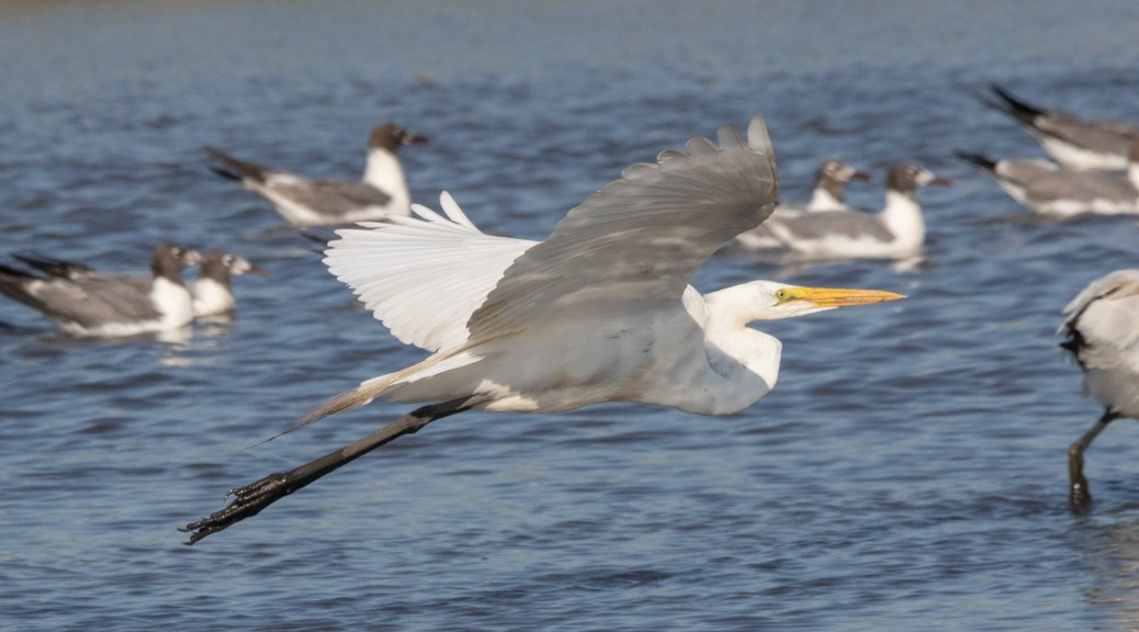 Great Egret On The Move
