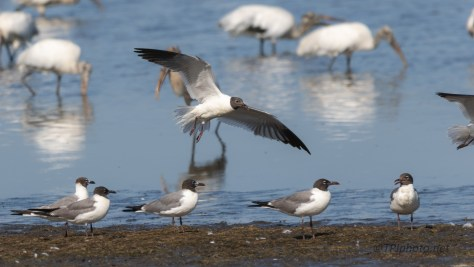 Laughing Gulls, A Little Recognition