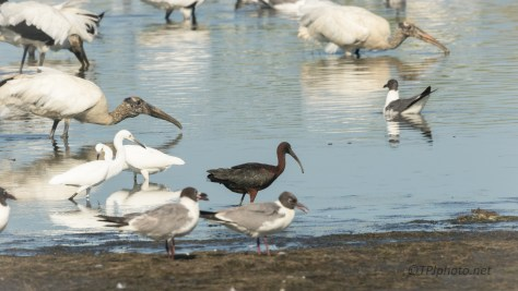 A Glossy Ibis Makes An Appearnce
