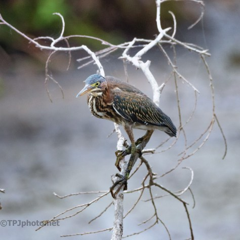 Green Heron Looking Back
