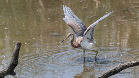 The Tricolored Heron Fishing Dance