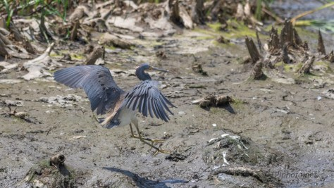 Into A Marsh, Tricolored Heron