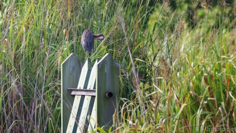 Heron, Bear Island Marsh Trunk