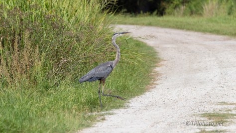 Changing Marshes, Great Blue Heron