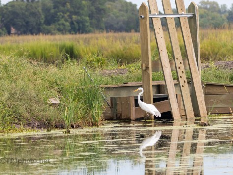 Marsh Dike With A Wooden Trunk, Egret