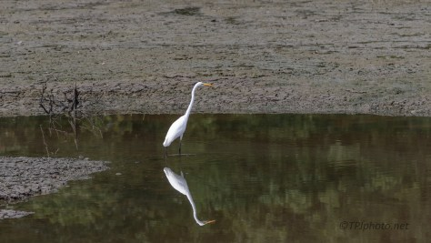 Great Egret In A Marsh