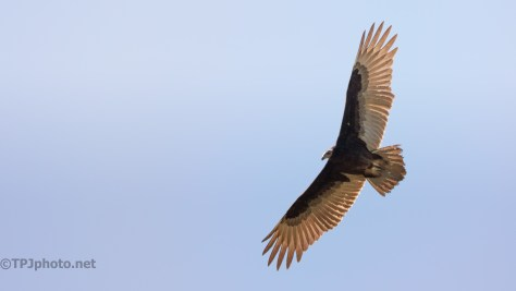 Common Sight, Overhead Vulture