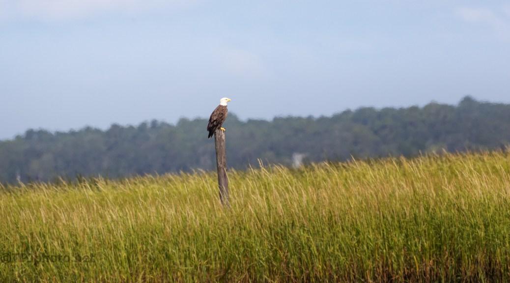 Watching Over The Salt Marsh, Bald Eagle