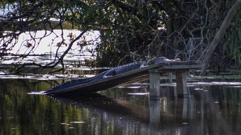 Sleeping In The Shade, Alligator