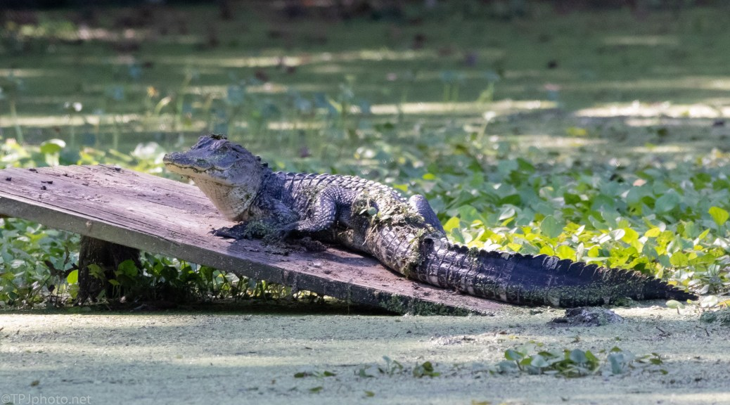 Now I know Why He was Acting Weird, Alligator