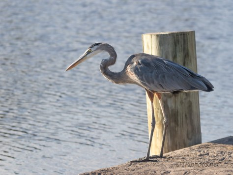 At His Spot On This Dike, Heron