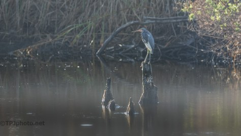 Tricolored Heron, Early Light