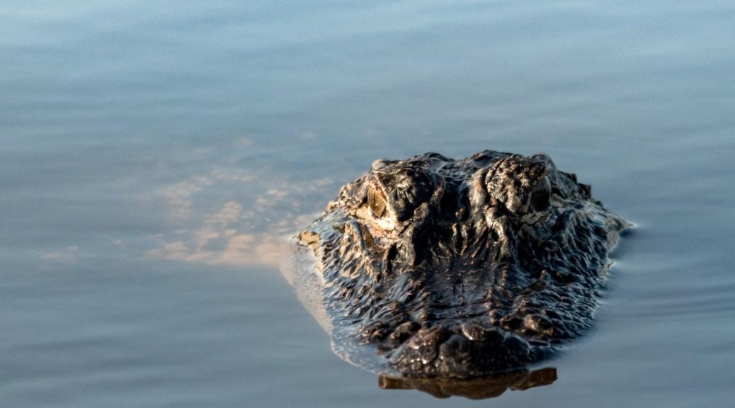 Another Watcher, Alligator