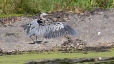 Claiming His Territory, Heron, Egret