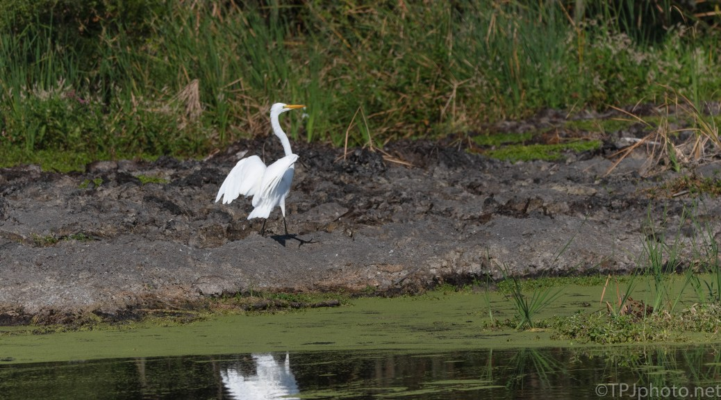 Great Egret On The Marsh Bank
