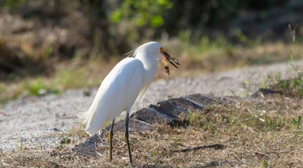 Shrimp Dinner, Egret