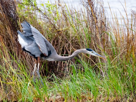 Poking Around The Shore, Heron