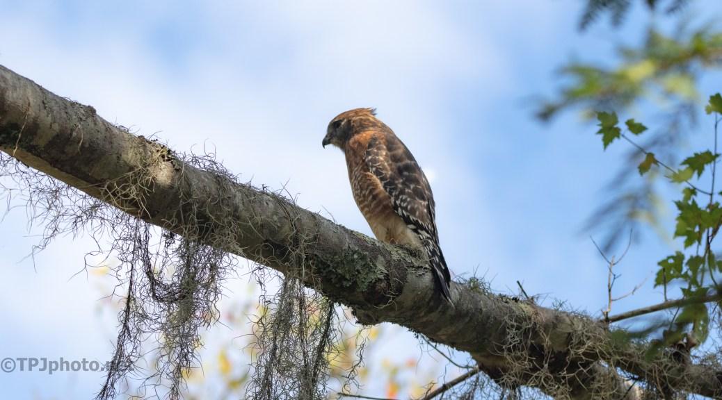 Red-shouldered Hawk Are Around