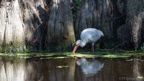 White Ibis In A Swamp