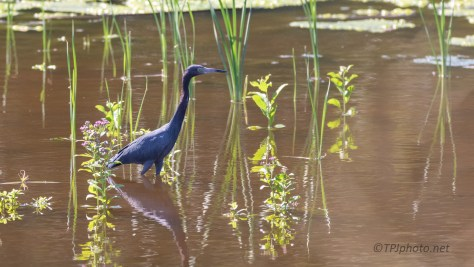 Little Blue Heron, Old Impoundment Pond