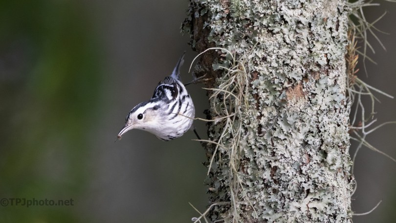The Black And White Warbler Are Here