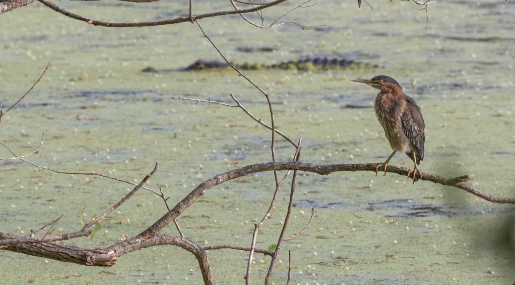 Green Heron At A Pond