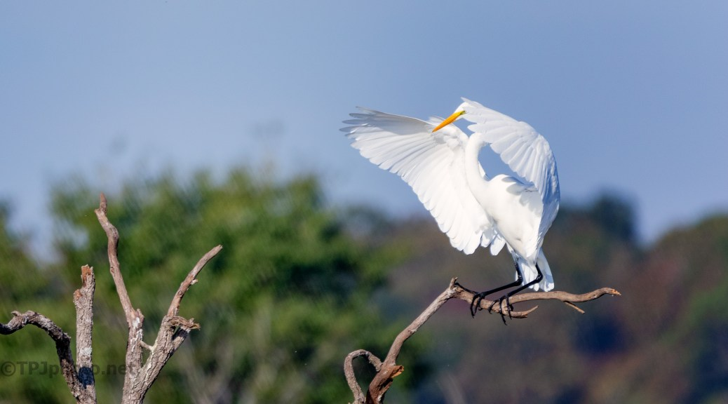 A Fast Landing, Great Egret
