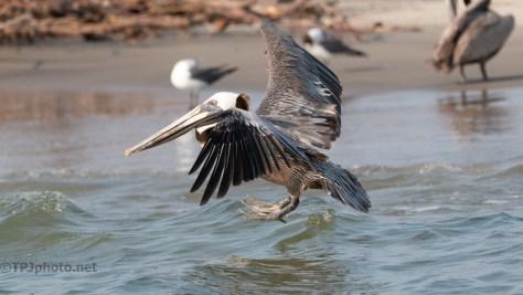 Practice Landing, Brown Pelican