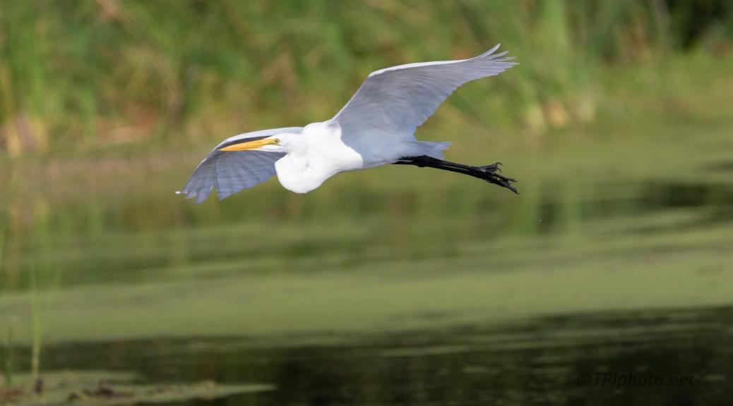 Over The Marsh, Great Egret