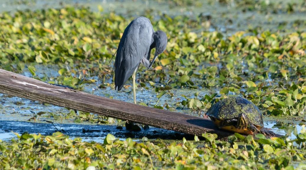 An Odd Couple, Heron, Turtle