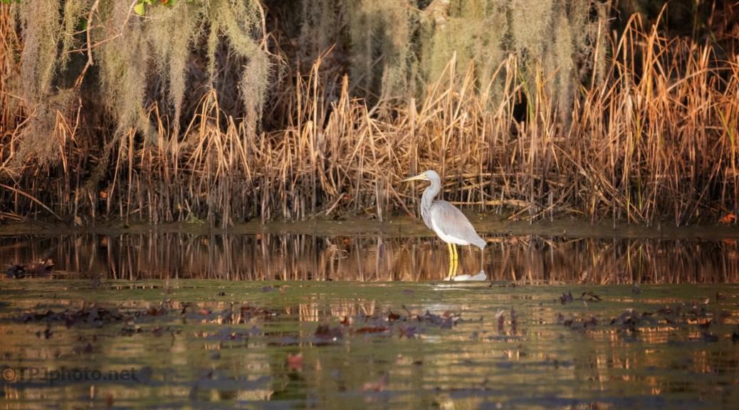 Fall Marsh Colors, Tricolored Heron