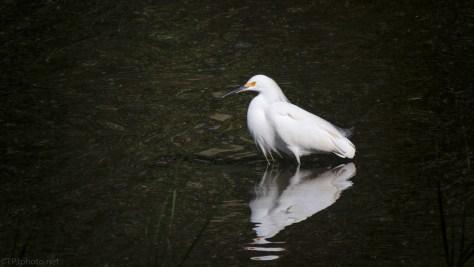 Snowy Egret, A Small Pond
