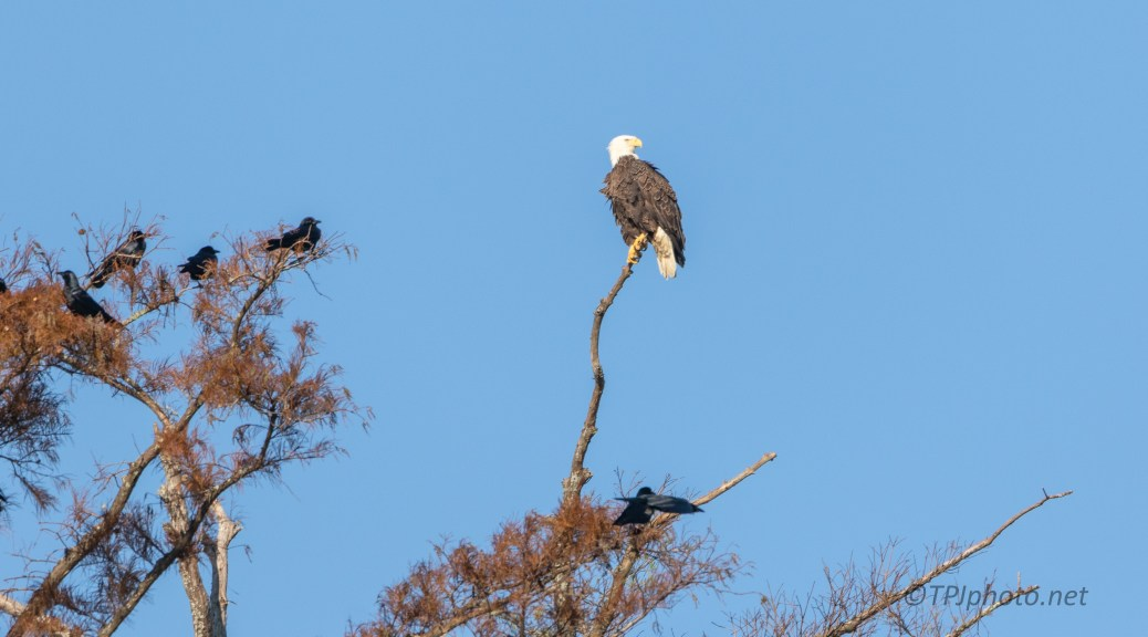 Eagle Surrounded By Murder Of Crows