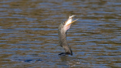 Anhinga With A Catch (2)