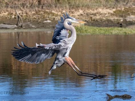 Great Blue Heron In A Marsh