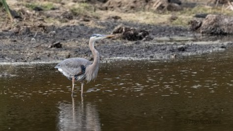 Compare Two Great Blue Heron